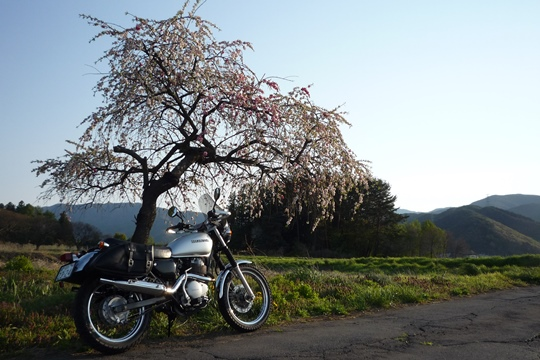 0508ずっしりとしたしだれ桜。.JPG