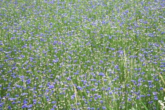 0605一面のお花畑2。.JPG