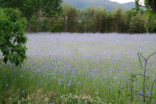0605一面のお花畑。.JPG