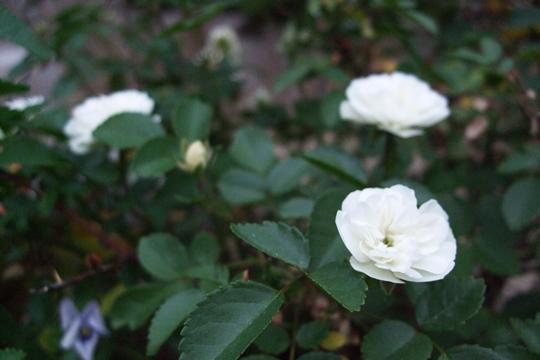 0605我が家の花達。.JPG