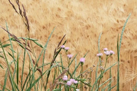 0612麦畑にて。.JPG