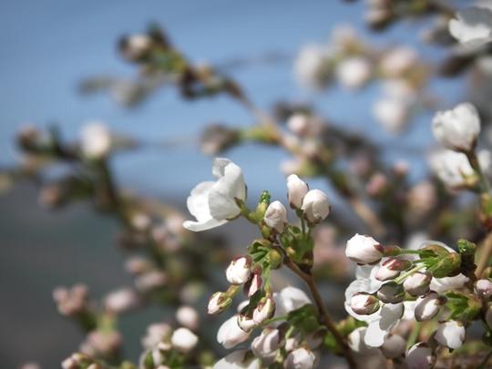 花芽もたっぷり。.JPG