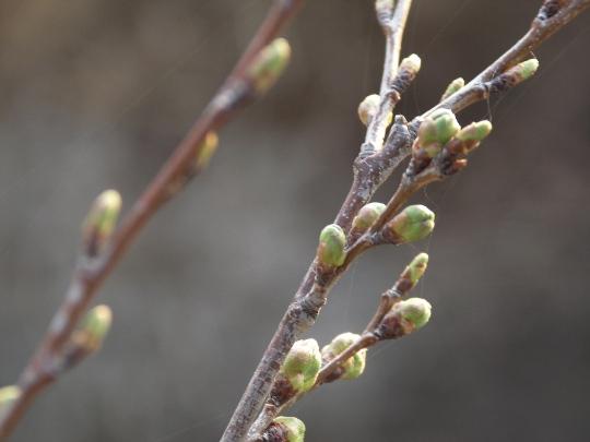 0409桜の芽.jpg