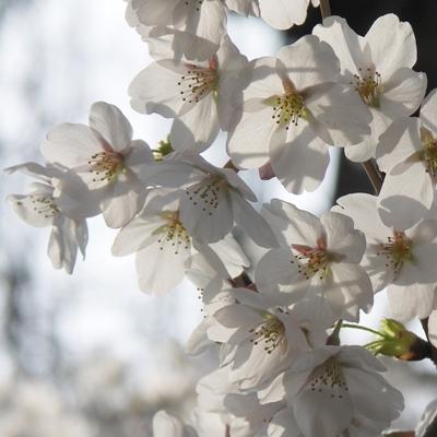 0416いつもの桜。.JPG