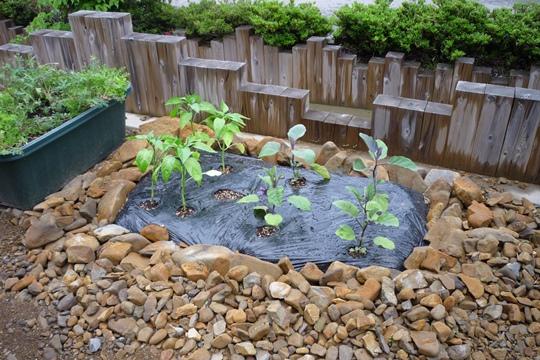 0530臨時家庭菜園。.JPG