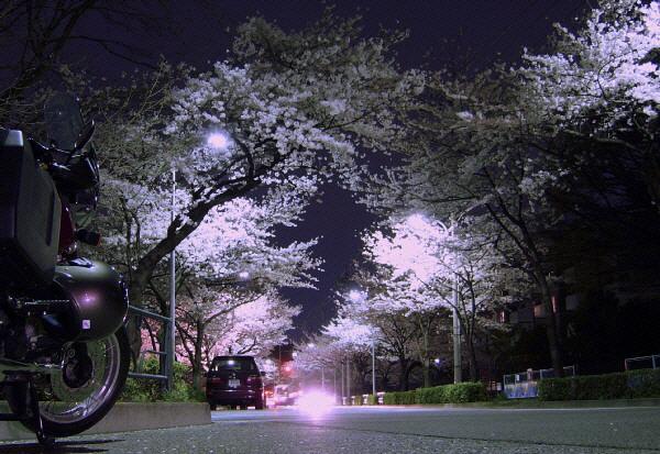 多摩川桜3.jpg