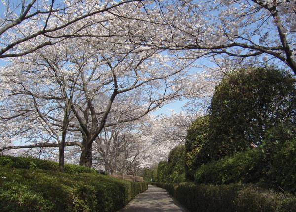 朝の桜.jpg